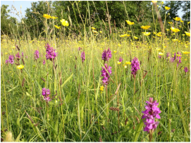 Species rich grassland at Long Green, Wortham Common