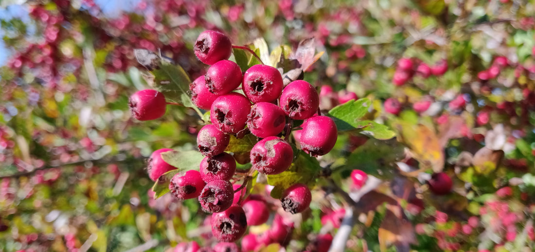 Hawthorn (Crataegus monogyna) - a rich source of food for hedgerow birds in Autumn and Winter