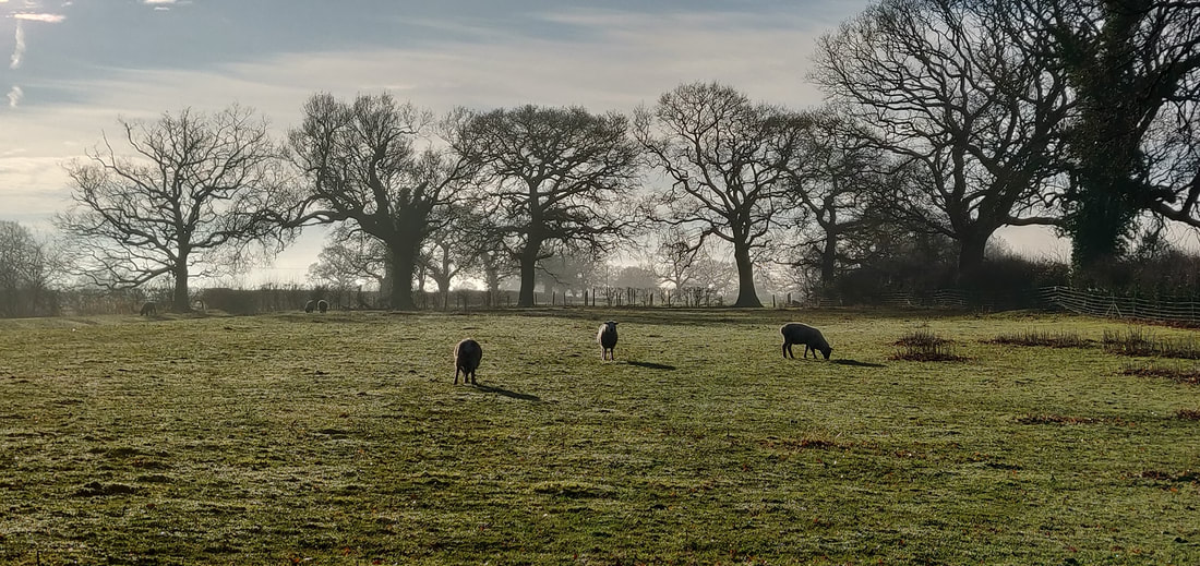 Winter trees and grazed pasture in Cheshire