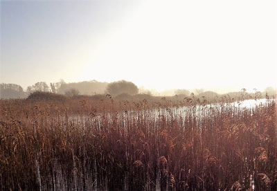 Reedbed at Redgrave and Lopham Fen, managed by Suffolk Wildlife Trust