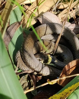 Call us for more info about reptile surveys in Norfolk, Suffolk or East Anglia