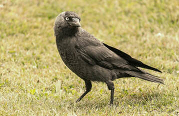 Jackdaw - a bird covered by the revoked General Licences